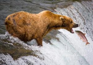 Bear-Catching-Fish